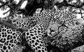 Lazy, leopard, naps, tree, branch, Serengeti, National, Park, Tanzania, Africa