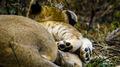 Lion Cub Paws