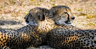 Cheetah Cub Brothers