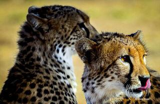 Cheetah Cub Brothers Too