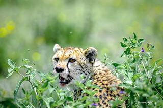 Cheetah Bush