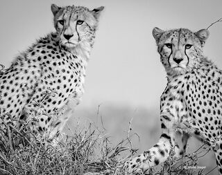 cheetah, serengeti, national, park, Tanzania, africa