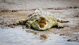 Crocodile, sunlight, Mara, River, Serengeti, National, Park, Tanzania, Africa