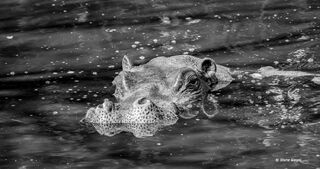 Hippo, reflection, pool, hippos, Serengeti, National, Park, Tanzania, Africa