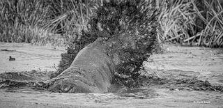 Hippos Clash