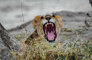 Lion, lioness, laugh, Tarangire, National, Park, Tanzania, Africa