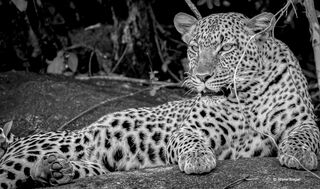 leopard, rock, relaxes, serengeti, national, Park, Tanzania, Africa