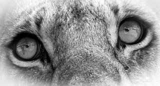 lion, eyes, close, up, Serengeti, National, Park, Tanzania, Africa