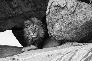 Kopje Lion