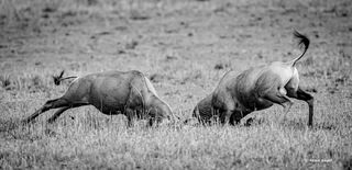 Topi, topis, antelope, antelopes, clash, Serengeti, National, Park, Tanzania, Africa