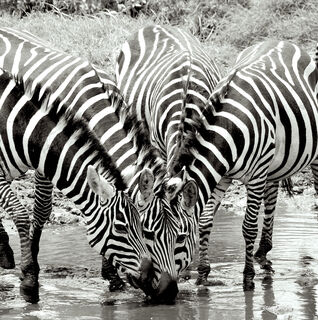 Zebras, zebra, water, drink, hole, Serengeti, National, Park, Tanzania, Africa