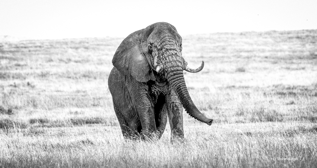 Bull elephant crests the ridge in the Ngorongoro Crater in Tanzania, Africa.