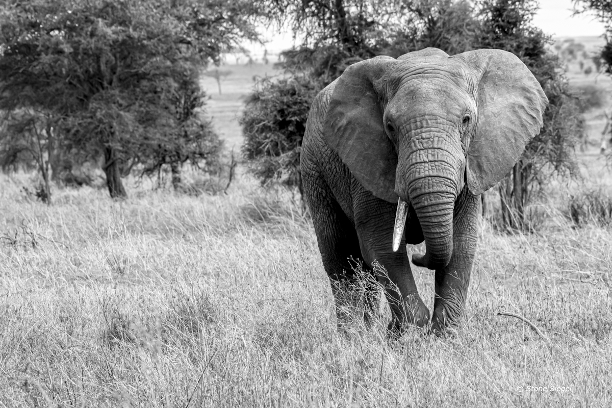 Elephant bull in Serengeti National Park in Tanzania, Africa.