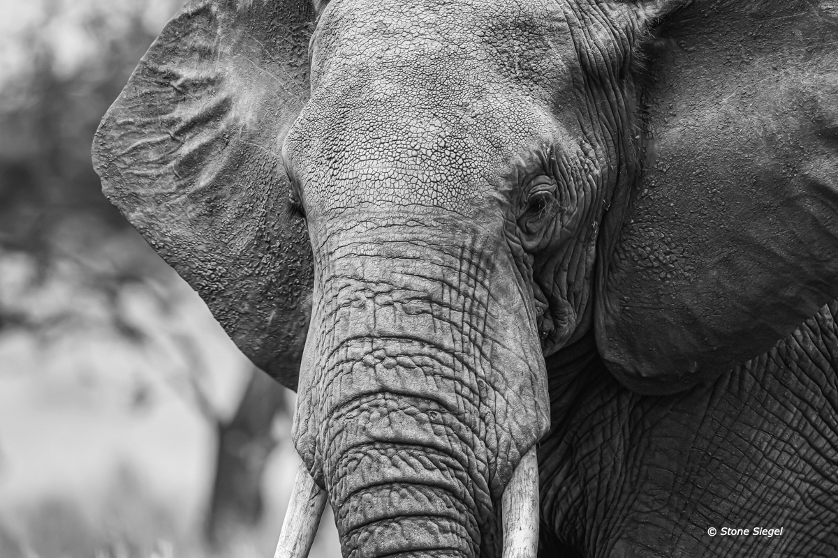 Elephant close up portrait in Arusha National Park of Tanzania, Africa.