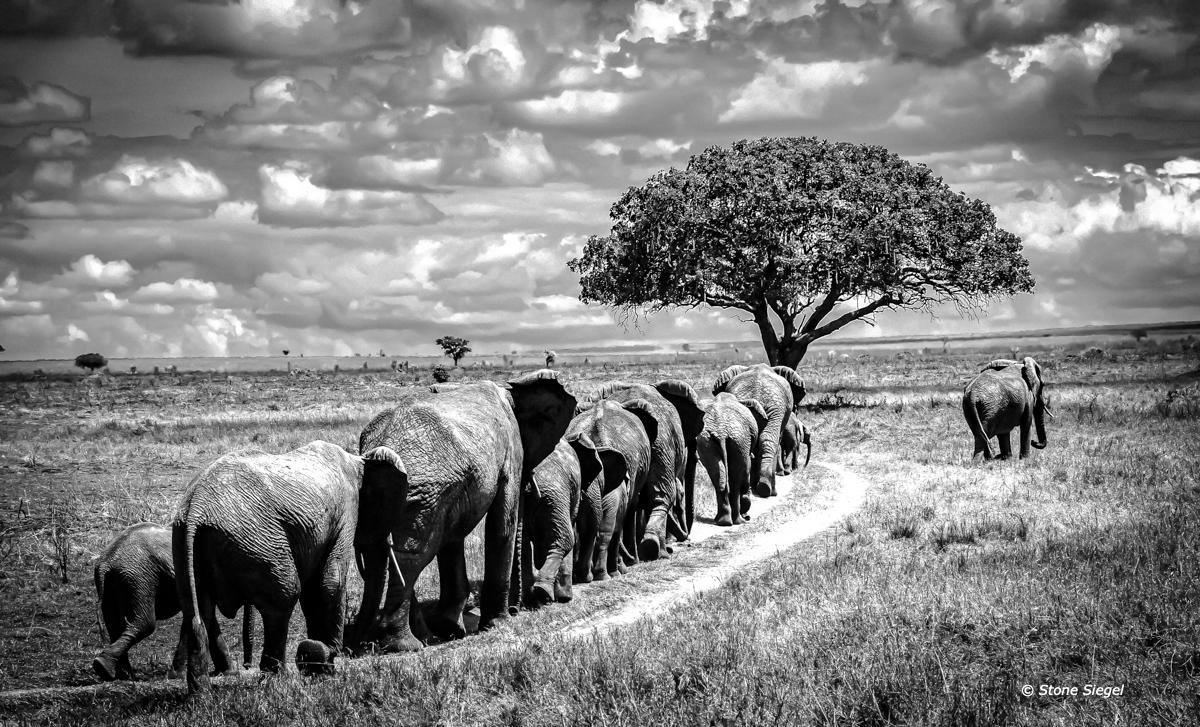 Elephants walk in single file across the Serengeti in Tanzania, Africa.