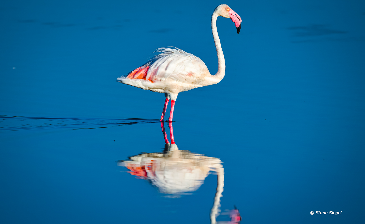 Flamingo in the water of Lake Masek in Ndutu, part of the Ngorongoro Conservation Area in Tanzania, Africa.