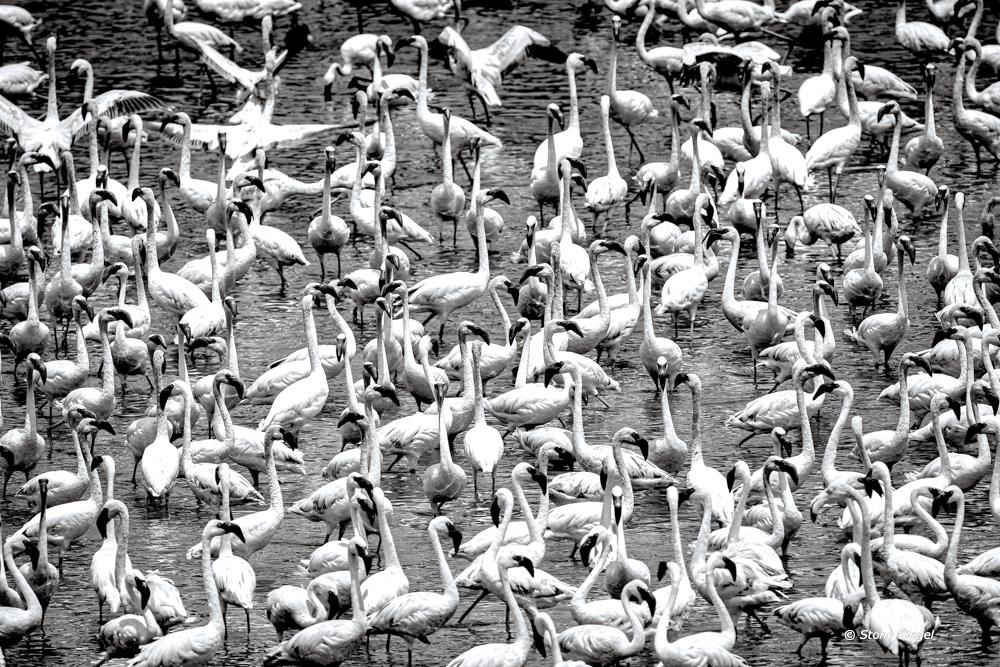 Flamingo flamboyance in Arusha National Park in Tanzania, Africa.