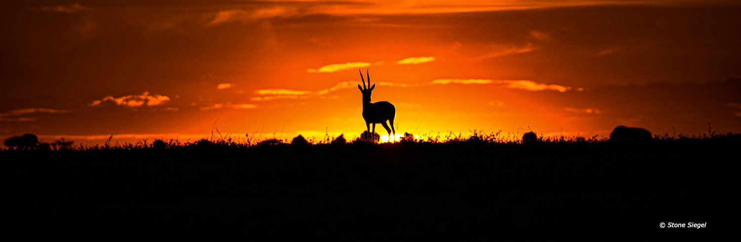 Gazelle on the horizon during sunset in the Naboisho Conservancy in Maasai Mara in Kenya, Africa.