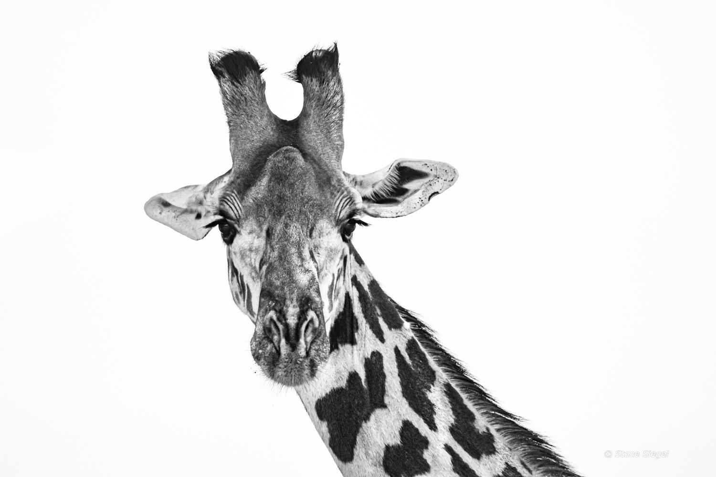 Giraffe, portrait, Tarangire, National, Park, Tanzania, Africa, photo