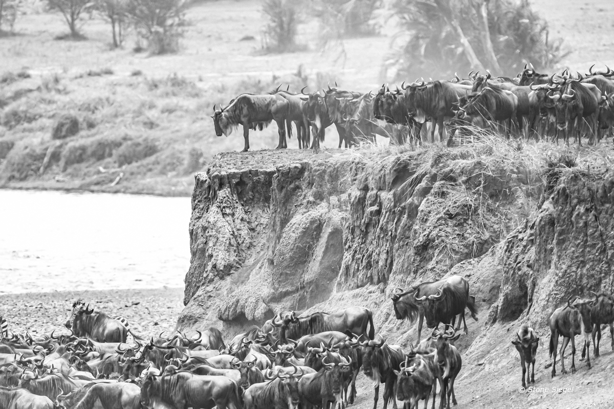 Gnus (Wildebeests) at the Mara River during the Great Migration in the northern part of Serengeti National Park in Tanzania...