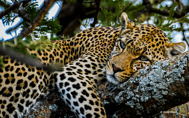 Lazy leopard napping in a tree.