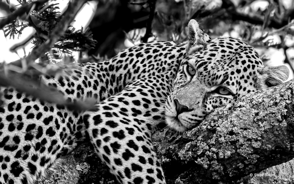 Lazy leopard naps on a tree branch in Serengeti National Park in Tanzania, Africa.