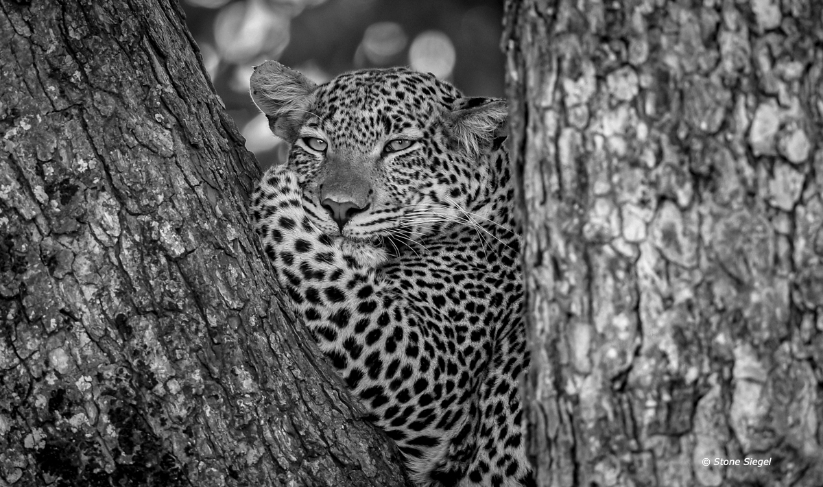 Leopard gazes from a resting spot in a tree in Tarangire National Park in Tanzania, Africa.