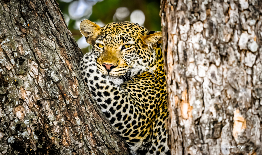 Leopard chilling out in a tree.