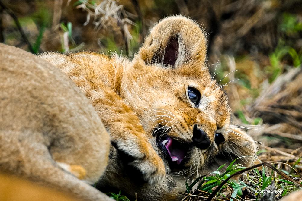 Lion cub face