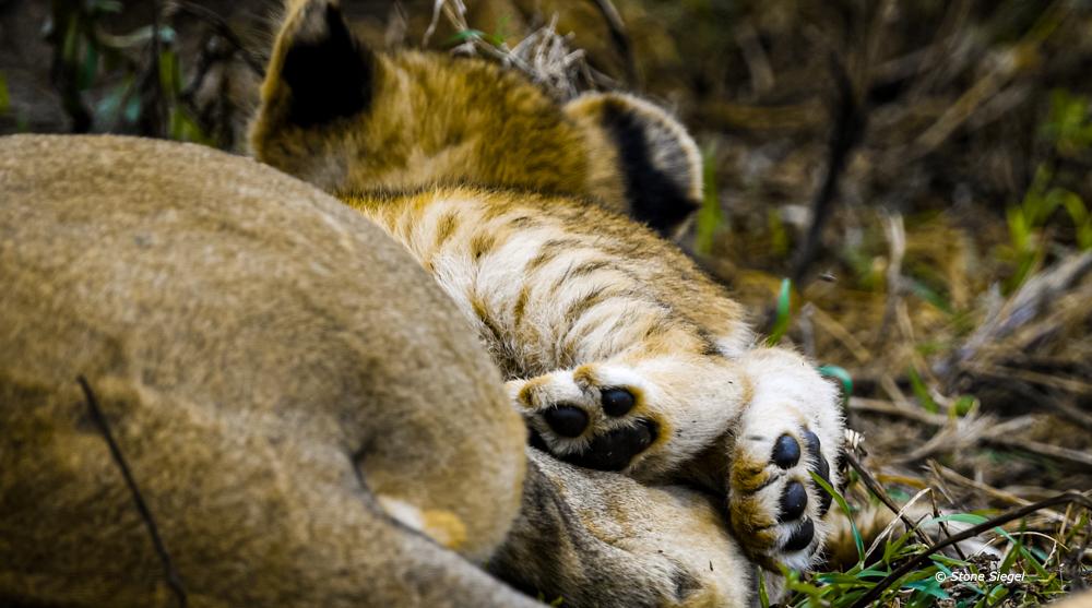 Lion, cub, paws, Ndutu, Ngorongoro, Conservation, Tanzania, Africa, photo