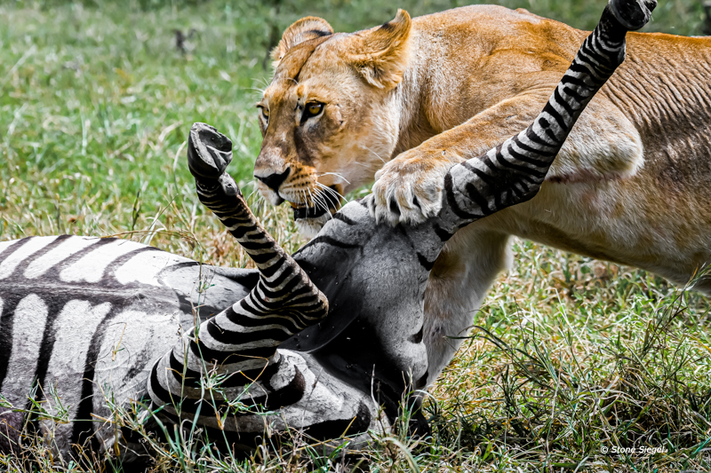 Mother lioness and her zebra kill.