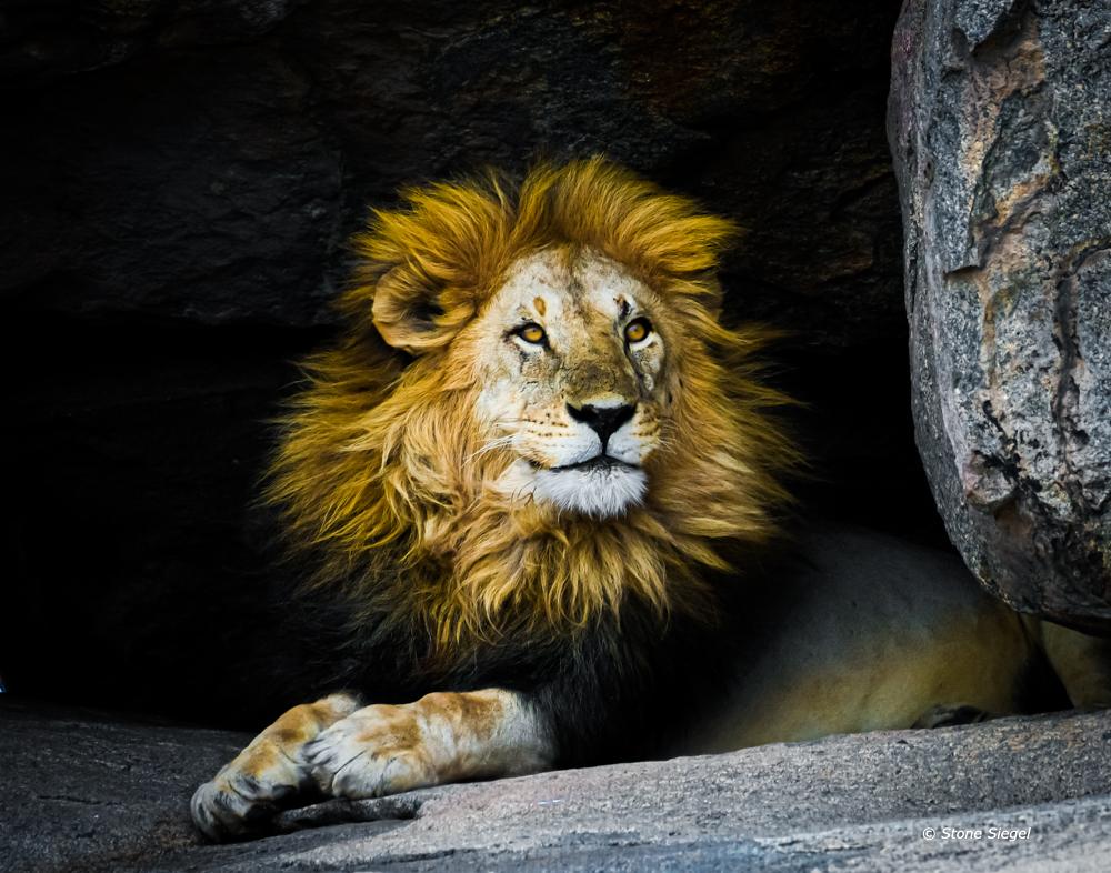 Lion hiding in the kopje.