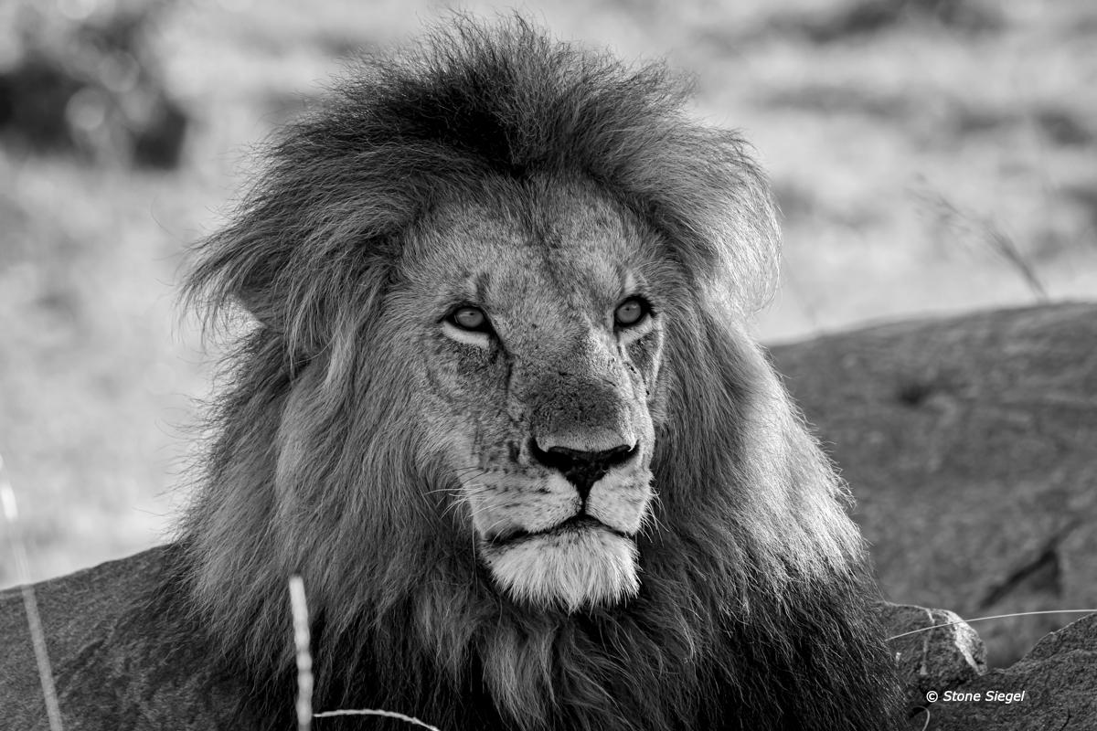 Lion King in Naboisho Conservancy Area in the Maasai Mara of Kenya, Africa.