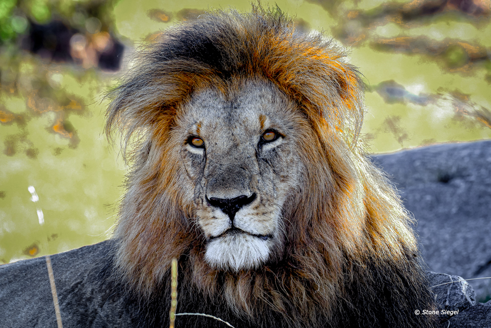 Lion, King, Naboisho, Conservancy, Maasai, Mara, Kenya, Africa, photo