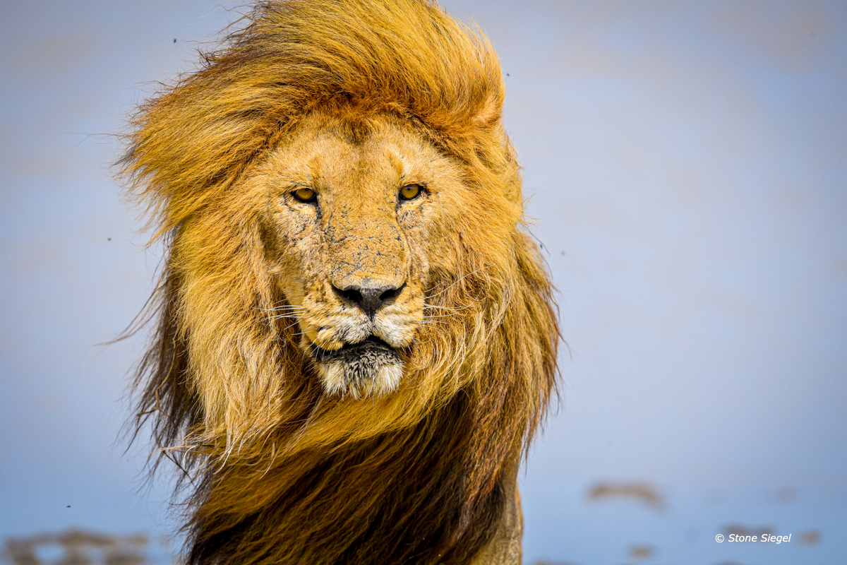 Lion, Ndutu, Ngorongoro, Conservation, Tanzania, Africa, photo