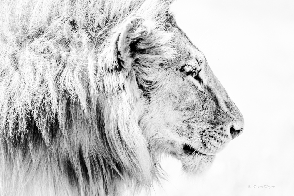 Lion profile in Ndutu, part of the Ngorongoro Conservation Area in Tanzania, Africa.