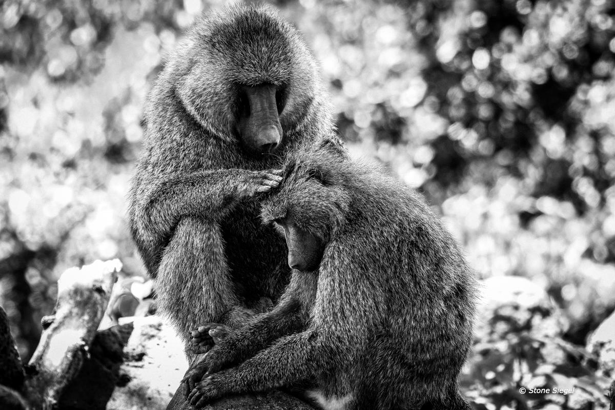 beauty, shop, olive, baboons, baboon, lake, manyara, national, park, Tanzania, Africa, photo