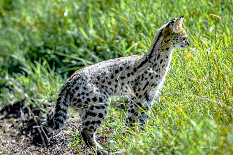 Serval, Cat, Hunt, Ngorongoro, Crater, Tanzania, Africa, photo