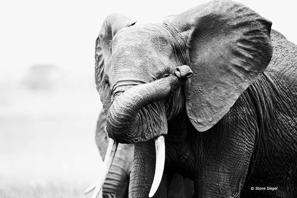 A camera shy elephant in Arusha National Park in Tanzania, Africa.