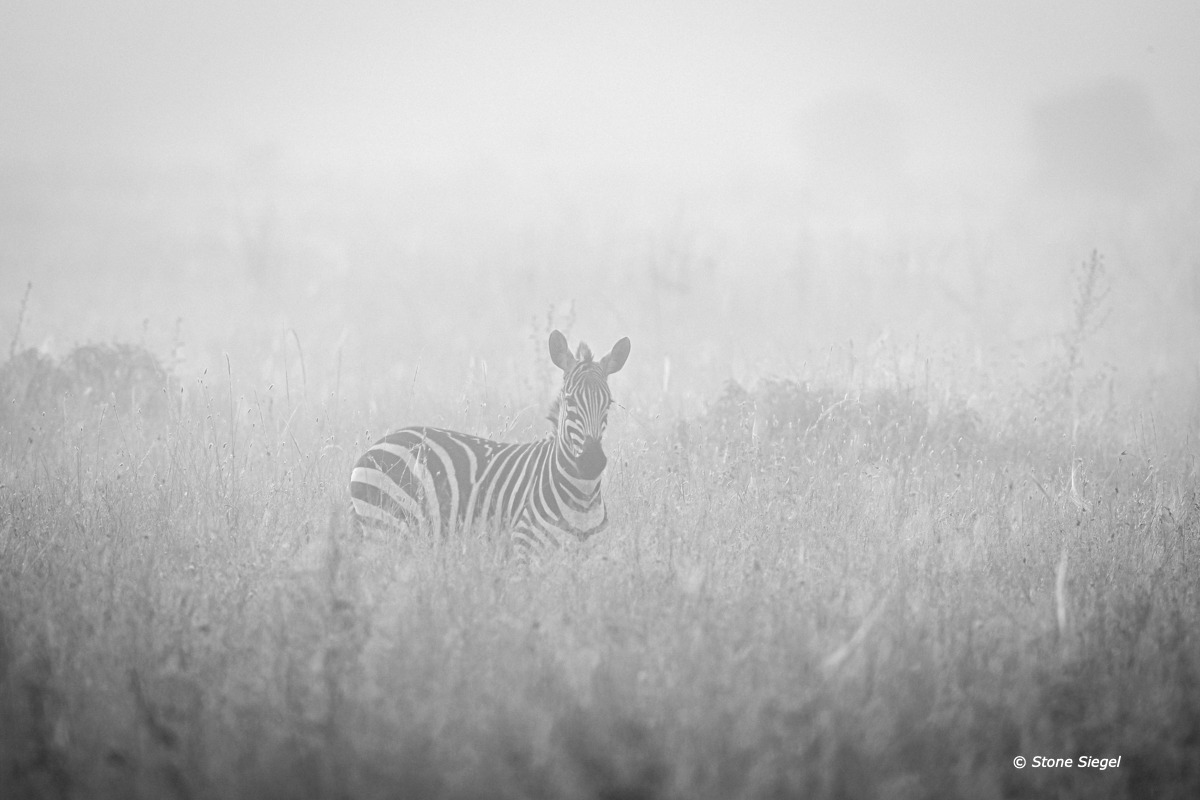 Zebra in the early morning mist across Serengeti National Park in Tanzania, Africa.