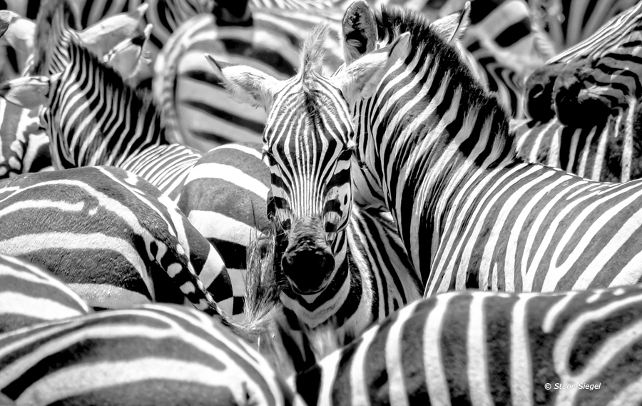Zebra, Ndutu, Ngorongoro, Conservation, Area, Tanzania, Africa, photo