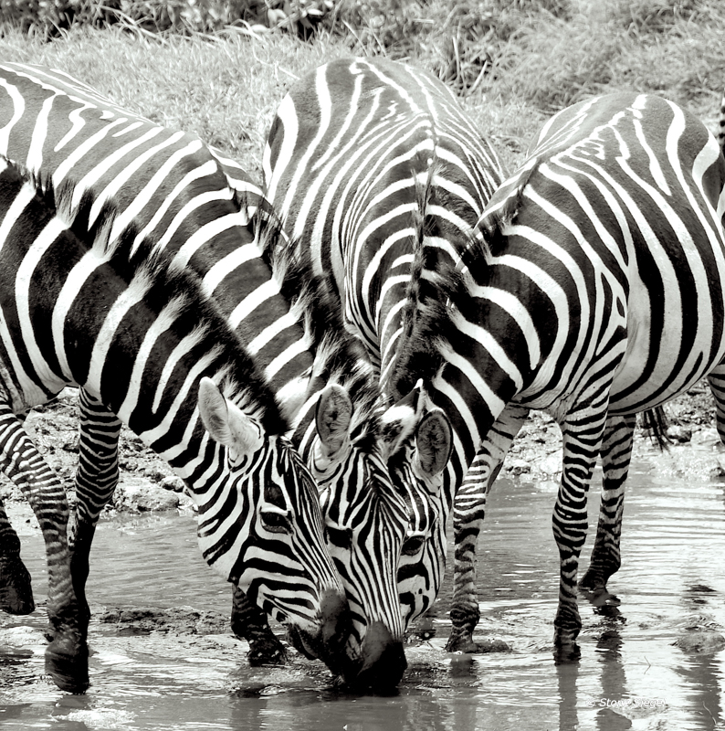 Four zebras drink from the same spot in the water hole in Serengeti National Park in Tanzania, Africa.